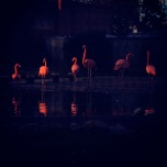 Flamingos illuminated at night.