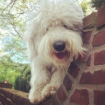An Old English Sheepdog smiles for the camera.